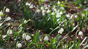 Spring snowflake flowers at gentle breeze stock footage