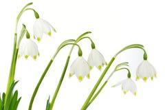 Spring snowflake flowers (Leucojum vernum) Stock Photography