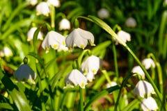 Spring snowflake flowers Leucojum vernum blooming in sunset stock photos