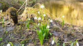 Spring snowflake flowers at river bed. Dewy tufts of spring snowflakes Leucojum vernum in moist clay covered by rotten leaves. stock footage
