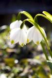Spring snowflake flowers Royalty Free Stock Photo