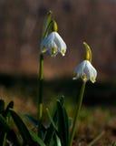 Spring snowflake leucojum. Vernum leucojum aestivum on spring in Sweden Stock Photos