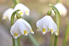 Spring snowflake. Pair of blossoms leucojum vernum stock photo