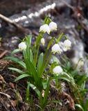 Spring Snowflake, Summer Snowflake or Loddon Lily Stock Image