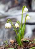 Spring Snowflake, Summer Snowflake or Loddon Lily Royalty Free Stock Photos