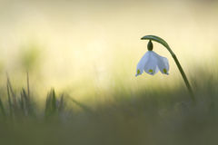 Spring snowflake, Vosges, France Royalty Free Stock Photo