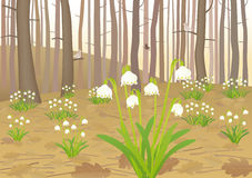 Spring snowflakes. Vector illustration of one of first spring flowers in a forest - Leucojum vernum Stock Image
