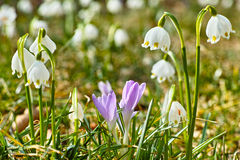 Spring snowflakes and crocuses flowering Royalty Free Stock Photos