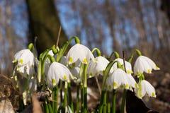 Spring Snowflakes Stock Photo