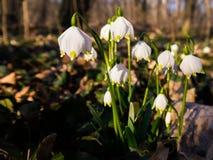 Spring Snowflakes Royalty Free Stock Photo