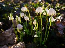 Spring Snowflakes Royalty Free Stock Image