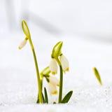 Spring snowflakes flowers - leucojum vernum carpaticum Royalty Free Stock Photos