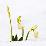 Spring snowflakes flowers - leucojum vernum carpaticum Stock Photo