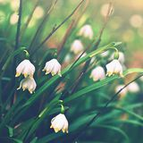 Spring snowflakes flowers.  leucojum vernum carpaticum Beautiful blooming flowers in forest with natural colored background. Royalty Free Stock Photos