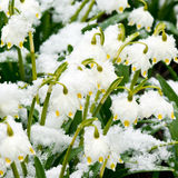 Spring snowflakes Stock Images