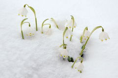 Spring snowflakes in snow Royalty Free Stock Photography