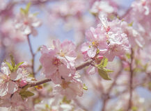 Spring soft blossom flower Royalty Free Stock Photo
