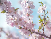 Spring soft blossom flower Stock Photography