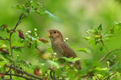 A spring song, a bird on a flowering tree. Flowers, buds, leaves, spring, forest Stock Images