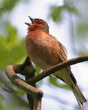 Spring song - chaffinch. Chaffinch singing spring song on branch stock photo