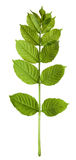 Spring sorbus leaves Stock Images