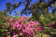 Azaleas in the South Royalty Free Stock Photos