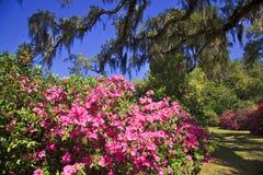 Azaleas in the South Royalty Free Stock Photos