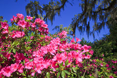 Pink Azaleas in the South. Spring in the South with live oaks, spanish moss and pink azaleas Stock Photos