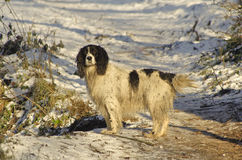 Spring Spaniel in snow. A black and white Springer Spaniel dog out for a winter walk stock photography