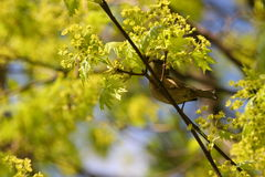 Spring and sparrow royalty free stock images