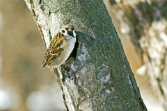 Spring. Sparrow builds a nest in a hollow tree Stock Photos