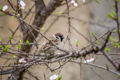 Spring sparrow royalty free stock photography