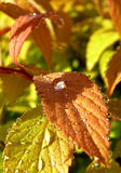 Spring spirea after rain. Leaves covered by perfectly shaped drops Royalty Free Stock Photos