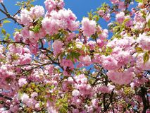 Spring. Bloosom tree Stock Images