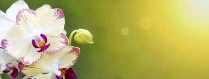 Spring, springtime banner - white orchid flowers Stock Images
