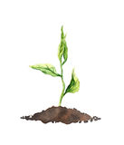 Spring sprout - green growing plant. Watercolor. Spring sprout - green growing plant, organic food. Watercolor illustration Stock Image