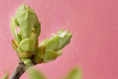 Spring sprout spring green in the rain on a pink background royalty free stock photos