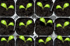 Spring sprouts germinate. D from seed Royalty Free Stock Images