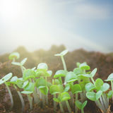 Spring sprouts in sunlights Stock Image