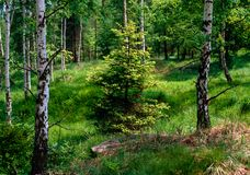 Spring spruce in the birch forest. Illustrations,spring woods,spring forests royalty free stock image