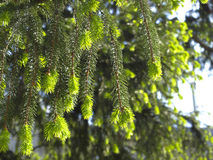 Spring spruce branches Stock Image