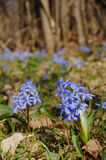 Spring squill flowers Royalty Free Stock Photography