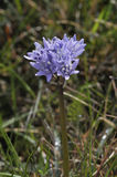 Spring Squill Stock Photo