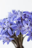 Spring Squill (Scilla bifolia) Royalty Free Stock Images