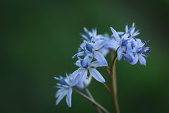 Spring Squill (Scilla bifolia) Royalty Free Stock Image