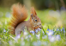 Spring squirrel Stock Photos