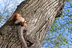Spring squirrel Stock Images