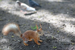 Spring squirrel Stock Photography