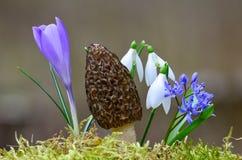 Spring staff. Spring mushroom among spring flowers - Black Morel Mushroom (Morchella Conica), Wild Bluebell ( Wild Hyacinth), snowdrops (Galanthus nivalis) and Royalty Free Stock Image