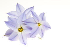 Spring star. This is a picture of spring star flower that bloomed in the field Royalty Free Stock Image